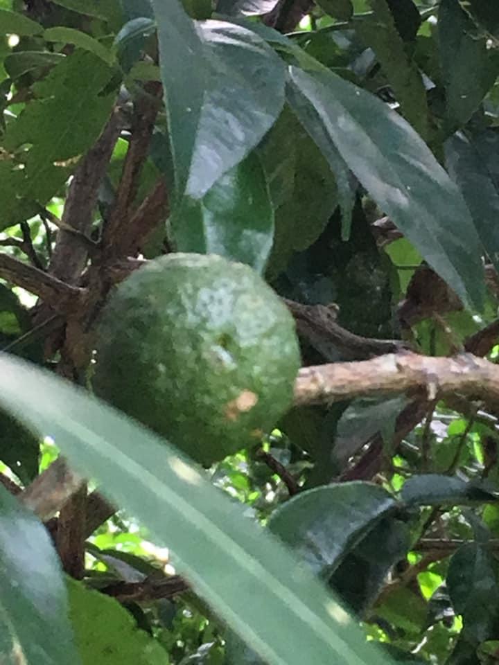 [11/1安城]ゆず収穫隊結成式のご案内|愛知県豊根村[とみやま村]ゆず収穫隊|とみやまの柚子収穫