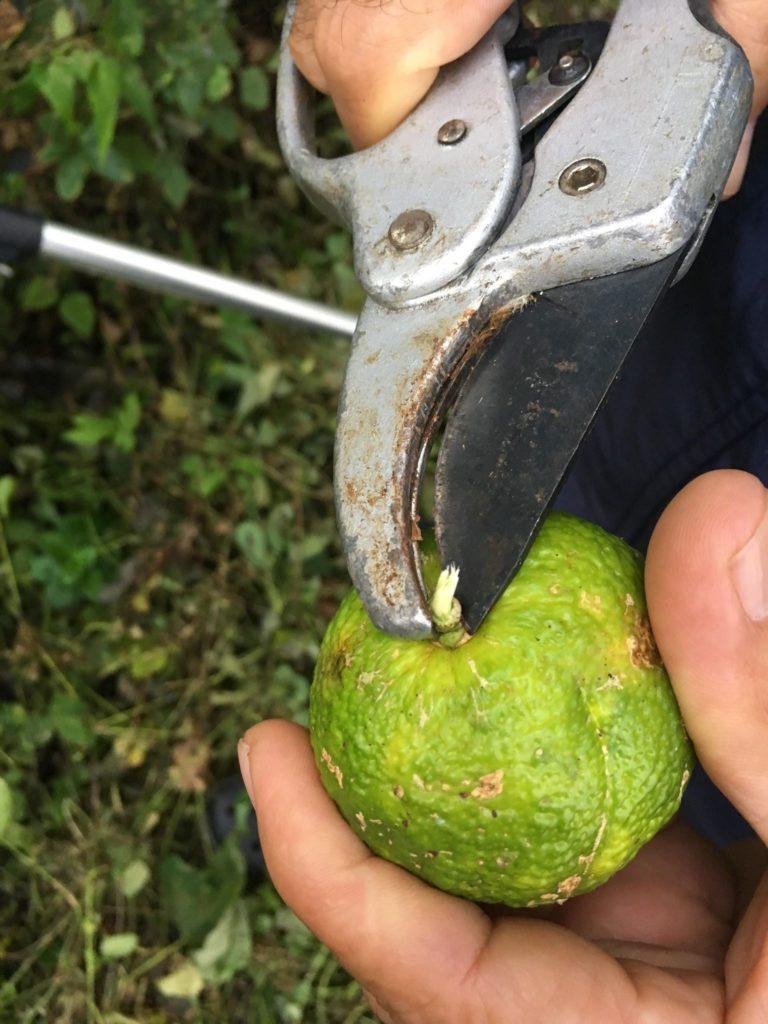 収穫隊の必須グッズ「剪定バサミ・ナイフ」について|愛知県豊根村[とみやま村]ゆず収穫隊|とみやまの柚子収穫