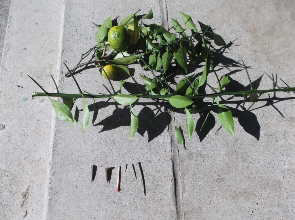 [11/17豊根村]ゆずの収穫方法について|愛知県豊根村[とみやま村]ゆず収穫隊|とみやまの柚子収穫